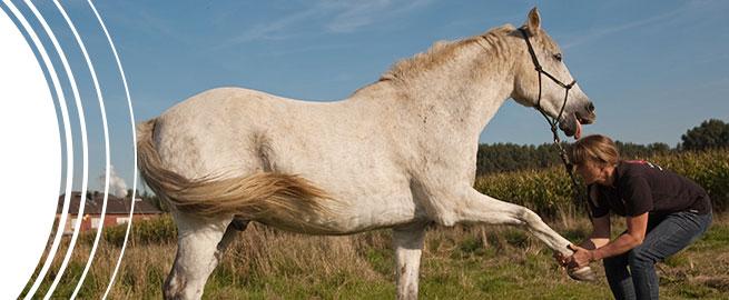 Ausbildung Shiatsu für Pferde